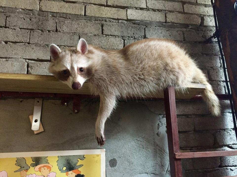 Raccoon Cafe korea
